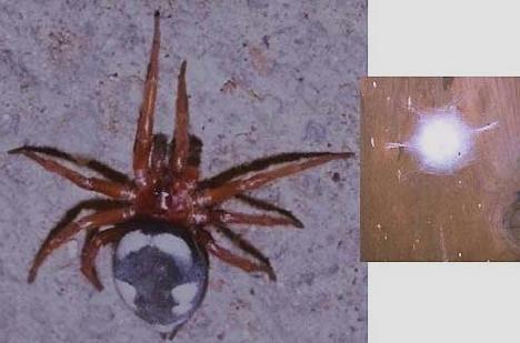 Piccoli ragni di colorazione grigia che vivono in fini for Costruttori domestici del nordovest pacifico
