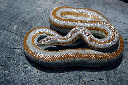 Idrofidi o serpenti marini sono specie molto velenose for Quali sono i rettili